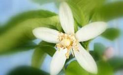 Cytryna z pestki - czy uprawa cytryny w domu może się udać?