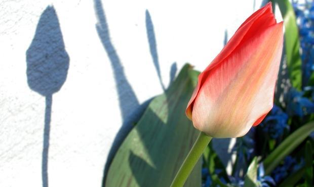 Tulipany na tarasie