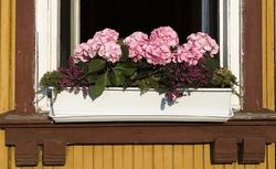 Hortensje. Jak stworzyć piękne kwiatowe kompozycje w skrzynkach?