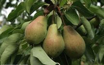 Przycinanie drzew owocowych - jak robić to prawidłowo?